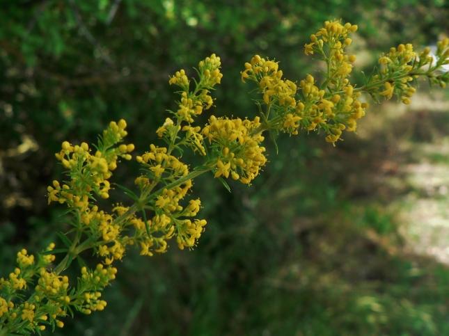 Galium verum (4)
