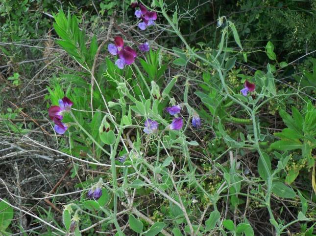 Lathyrus odoratus (4)