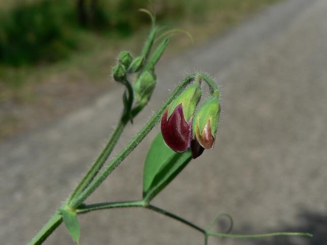 Lathyrus odoratus (7)