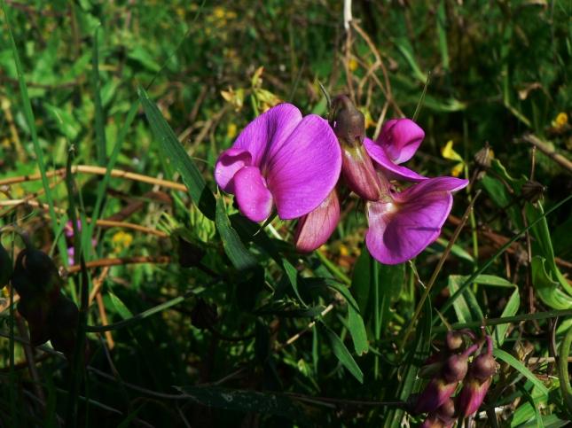 Lathyrus silvestris (3)