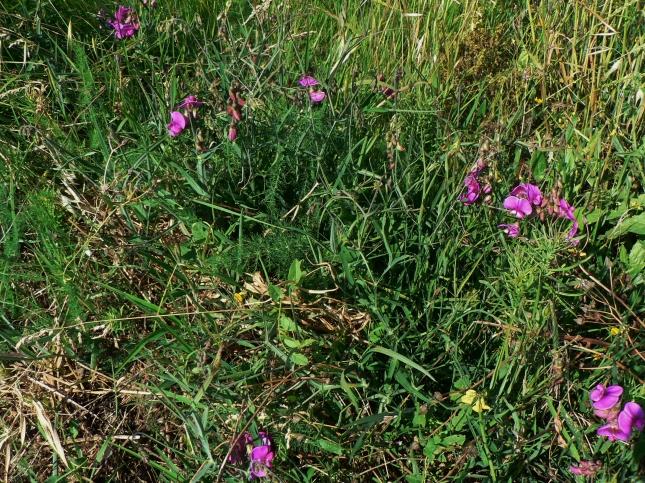 Lathyrus silvestris (5)