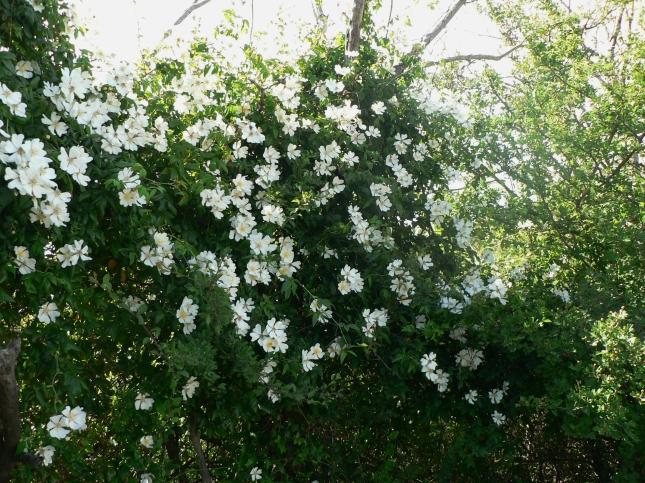 rosa arvense (1)