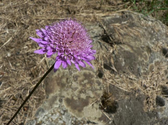 Scabiosa columbaria (3)