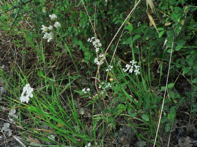 Torilis arvensis (3)