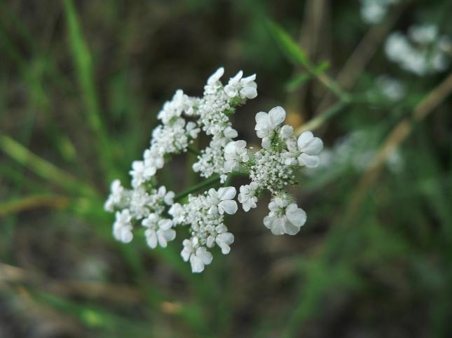 Torilis arvensis (4)
