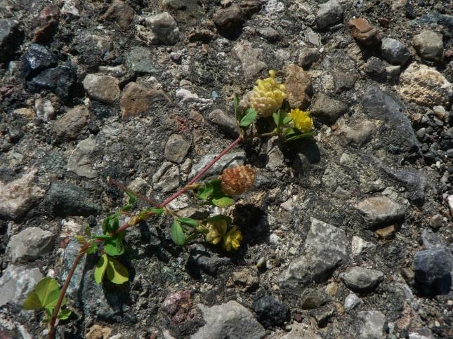 Trifolium campestre (1)