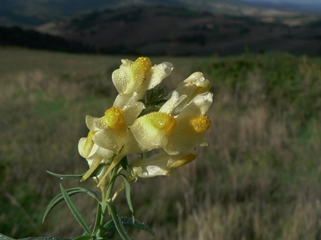 1-linaria-vulgaris-2