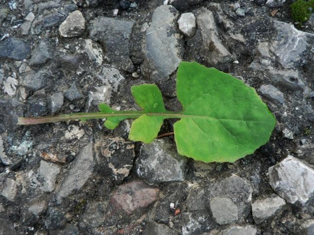 3-soncus-oleraceus-3