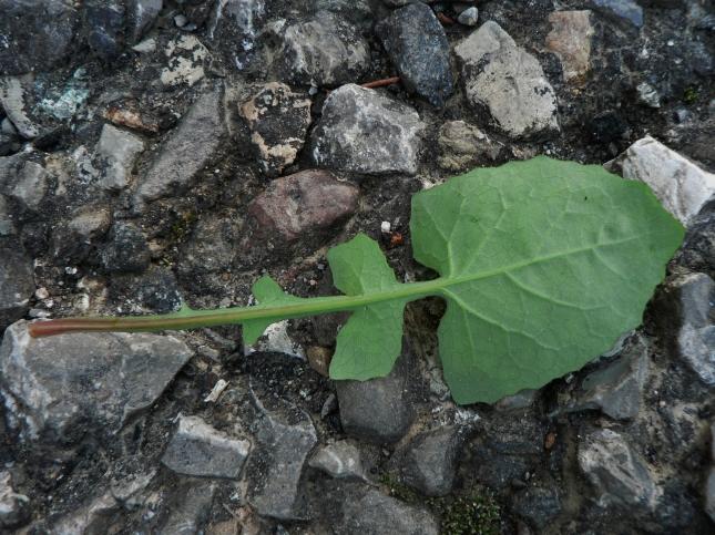 3-soncus-oleraceus-4