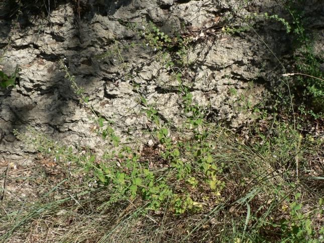 Clinopodium nepetea (4)