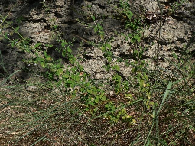 Clinopodium nepetea (5)