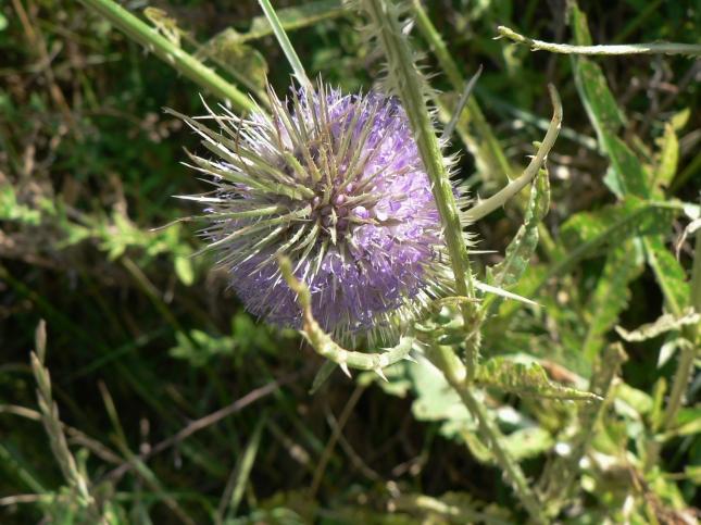 Dipsacum fullonum (4)