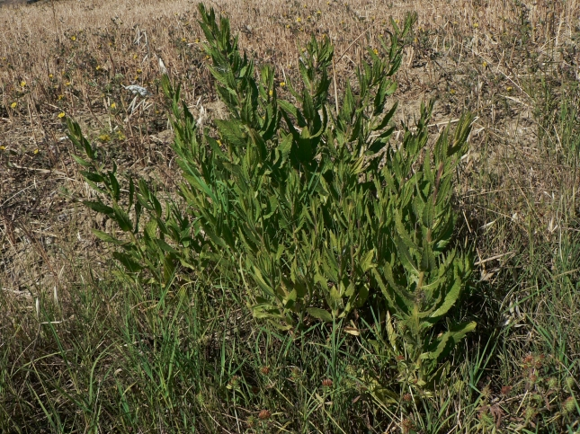 Enula viscosa (2)