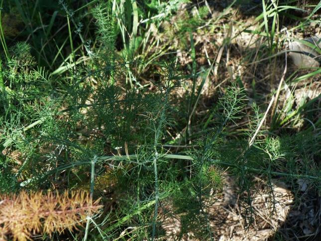 Foeniculum vulgare (2)