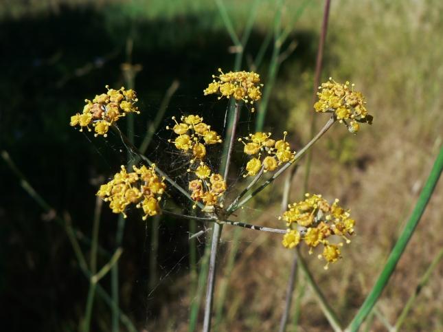 Foeniculum vulgare (3)