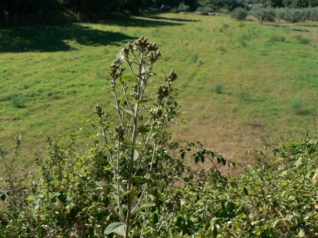 Inula conizae (2)