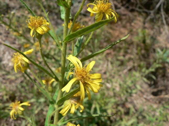 inula-viscosa-4