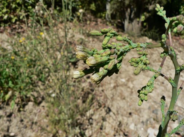 Lactuca serriola (5)