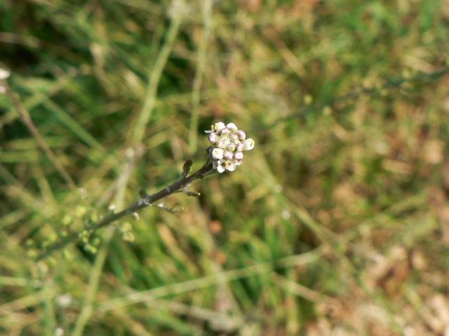 Lepidium graminifolium (1)