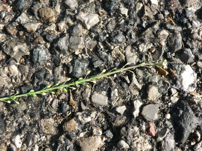 Lepidium graminifolium (3)