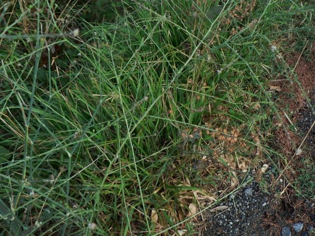 Lepidium graminifolium (5)