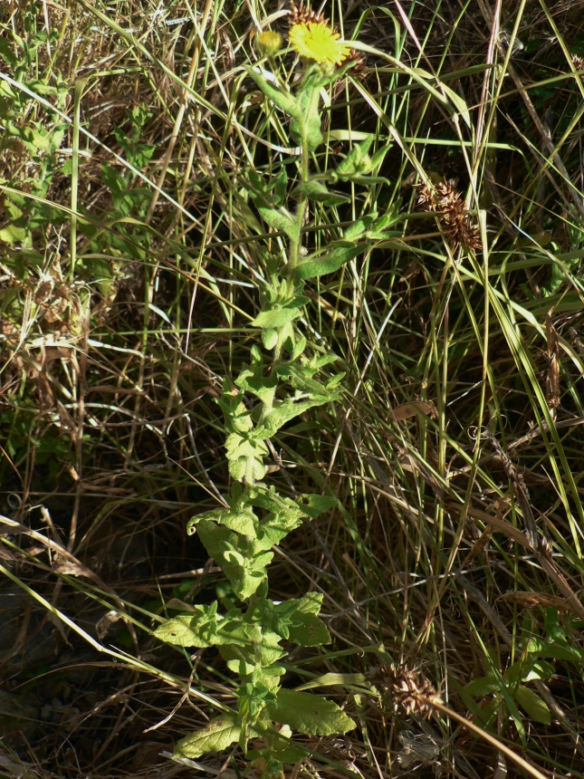 Pulicaria dysenterica (3)