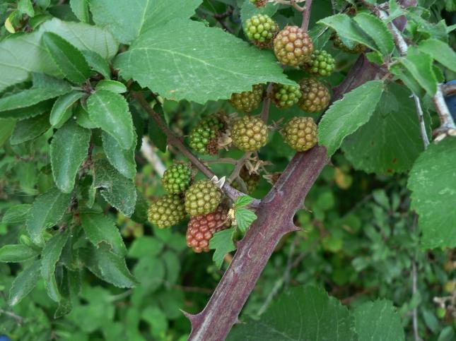 Rubus fruticosus (1)