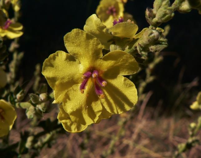 Verbascum sinuatum (1)