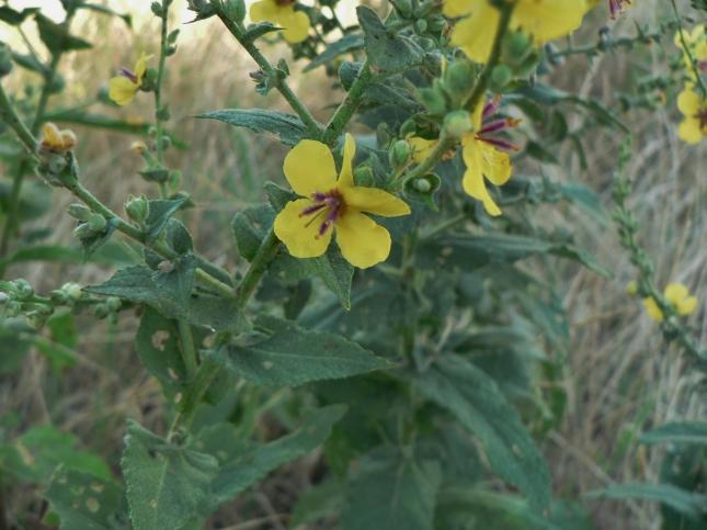 Verbascum sinuatum (2)