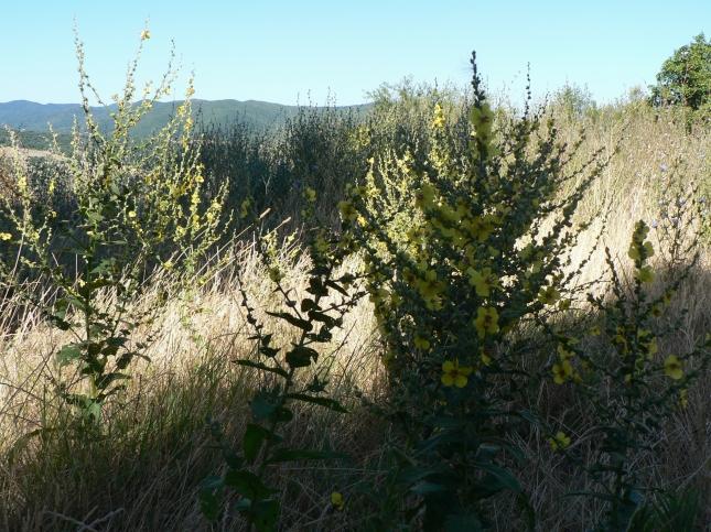 Verbascum sinuatum (3)