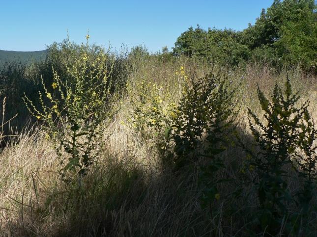 Verbascum sinuatum (4)