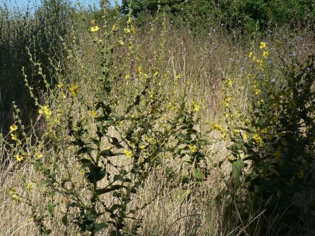 Verbascum sinuatum (5)