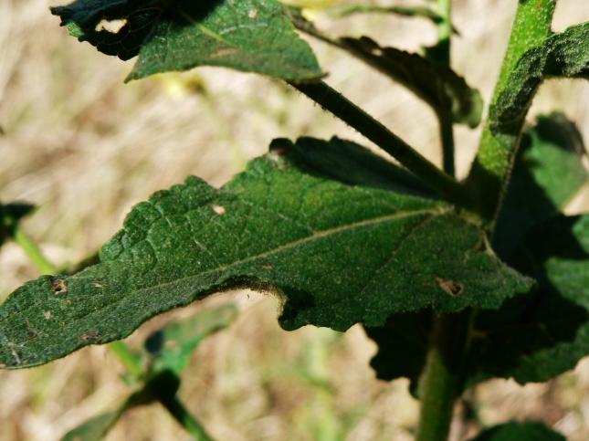 Verbascum sinuatum (6)