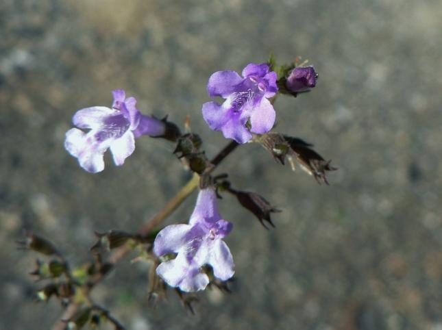 4clinopodium-nepetea-1