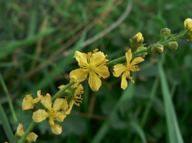 7-rosacea-agrimonia-1