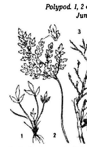 asplenium_cuneifolium_245