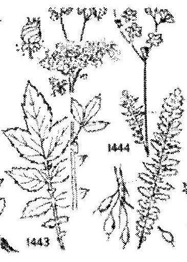filipendula-ulmaria-e-vulgaris_116-117