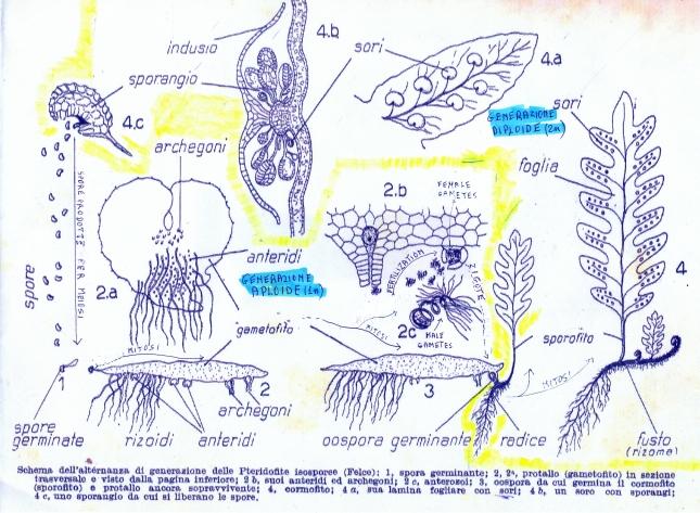 pteridofite_ciclo_rprod0001