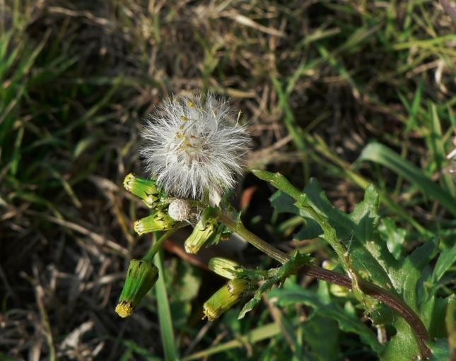 senecio-vulgaris-6
