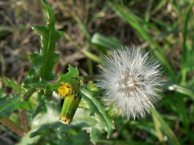 senecio-vulgaris-7